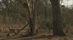 Inactive Savanna Baboons in Niassa Reserve, Mozambique. - stock footage