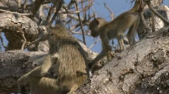 Adult Savanna Baboon in tree with infant. Niassa Reserve, Mozambique. Stock Footage