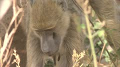 Female adult Savanna Baboon foraging. Niassa Reserve, Mozambique. Stock Footage