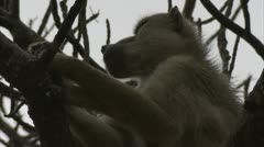 Tired adult Savanna Baboon in tree in Niassa Reserve, Mozambique. Stock Footage