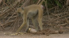 Female adult Savanna Baboon eating fruit in Niassa Reserve, Mozambique. Stock Footage