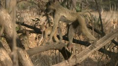Female adult Savanna Baboon with infants in tree in Niassa Reserve, Mozambique. Stock Footage