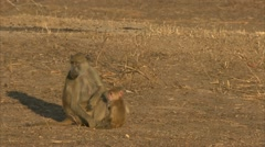 Female adult Savanna Baboon with infants. Niassa Reserve, Mozambique. - stock footage