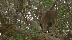 Adult Savanna Baboon in tree, eating. Niassa Reserve, Mozambique. Stock Footage