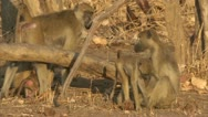 Stock Video Footage of Savanna Baboons grooming and suckling in Niassa Reserve, Mozambique.