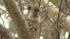 Infant Savanna Baboon gets distracted in tree. Niassa Reserve, Mozambique. Stock Footage