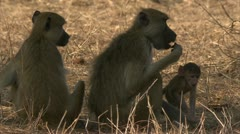 Savanna Baboons sitting in Niassa Reserve, Mozambique. Stock Footage