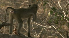 Young Savanna Baboon sitting on branch. Niassa Reserve, Mozambique. Stock Footage