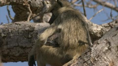 Young and infant Savanna Baboon in Niassa Reserve, Mozambique. Stock Footage