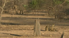 Savanna Elephant and Savanna Baboons in Niassa Reserve, Mozambique. Stock Footage