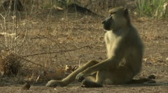 Adult male Savanna Baboon smelling female. Niassa Reserve, Mozambique. Stock Footage