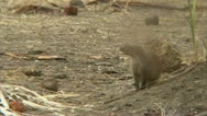 Stock Video Footage of Mongoose observing its surroundings. Niassa Reserve, Mozambique.