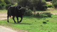 Stock Video Footage of Water Buffalo in the Wild