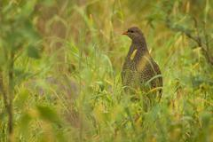 Natal Spurfowl Stading in Green Grass in South Africa - stock photo