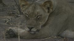 African lioness sleeping in Niassa Reserve, Mozambique. Stock Footage