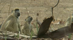 Adult male and female Savanna Baboon sitting in Niassa Reserve, Mozambique. Stock Footage