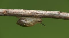 Oval Ambersnail (Novisuccinea ovalis) 1 Stock Footage