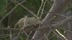 Infant Savanna Baboon in tree, with flower. Niassa Reserve, Mozambique. Stock Footage