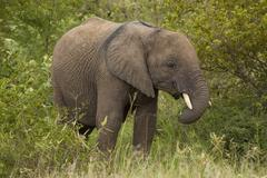 Young African Elephant Standing in its Natural Bushveld Habitat - stock photo