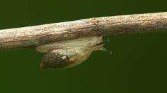Oval Ambersnail (Novisuccinea ovalis) 2 Stock Footage