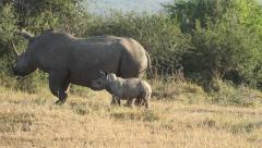 A white rhino and young calf Stock Footage