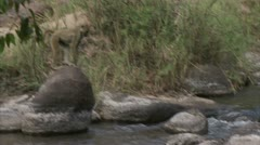 Adult Savanna Baboon running over water. Niassa Reserve, Mozambique. Stock Footage