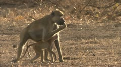 Female adult Savanna Baboon running with infant. Niassa Reserve, Mozambique. Stock Footage