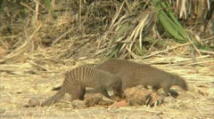 A pack of mongooses foraging in Niassa Reserve, Mozambique. Stock Footage