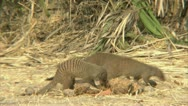 Stock Video Footage of A pack of mongooses foraging in Niassa Reserve, Mozambique.