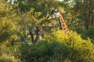 Stock Photo of Giraffe's Neck Sticking Out of the African Tree Tops