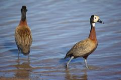 White-faced Ducks in their Natural South African Habitat Stock Photos