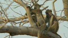 Savanna Baboon family in tree, sleeping. Niassa Reserve, Mozambique. Stock Footage