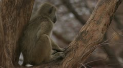 Young Savanna Baboon sitting in tree. Niassa Reserve, Mozambique. Stock Footage