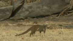 Mongooses in Niassa Reserve, Mozambique. Stock Footage