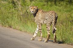 Cheetah Walking in the Road in the Kruger National Park - stock photo