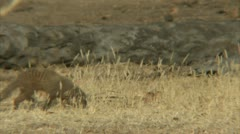 Mongoose walking in Niassa Reserve, Mozambique. Stock Footage