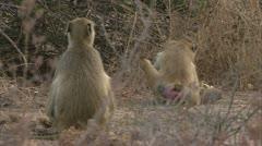 Savanna Baboon running away with food. Niassa Reserve, Mozambique. Stock Footage