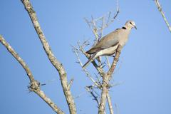 Cape Turtle Dove Sitting in a Dead Tree in South Africa Stock Photos