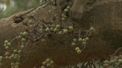 Savanna Baboon in tree, eating fruit. Niassa Reserve, Mozambique. Stock Footage