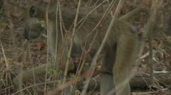 Female adult Savanna Baboon with infant walking in Niassa Reserve, Mozambique. Stock Footage