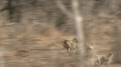 Savanna Baboons running fast in Niassa Reserve, Mozambique. - stock footage