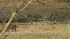 Mongoose and Savanna Baboon in Niassa Reserve, Mozambique. Stock Footage
