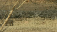 Stock Video Footage of Mongoose and Savanna Baboon in Niassa Reserve, Mozambique.