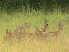 Antelope herd in Niassa Reserve, Mozambique. Stock Footage