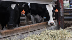 Curious Cows eating hay look at the camera Stock Footage