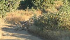A pride of lions walking on dirt road Stock Footage