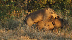 Warthogs mating Stock Footage