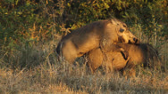 Stock Video Footage of Warthog mating