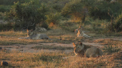 A small pride of lions relaxing in the veld Stock Footage