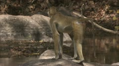 Savanna Baboon at water. Niassa Reserve, Mozambique. Stock Footage